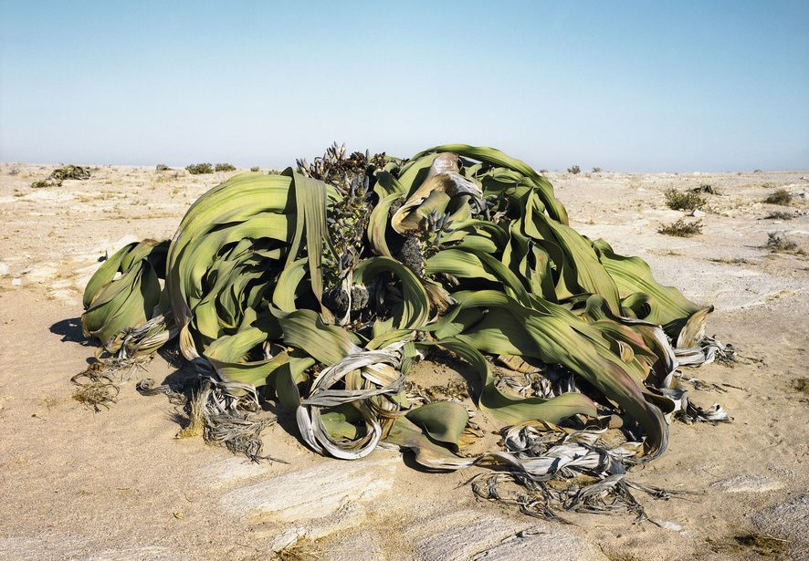 На фото Вельвичия удивительная в пустые
